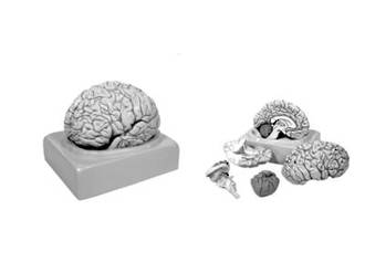 Brain Human Natural Size in 8 parts with key