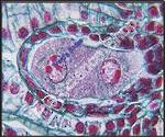 Lilium Ovary Binucleate Embryo Sac (cs) QS