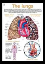 Lungs and Respiratory System - Poster